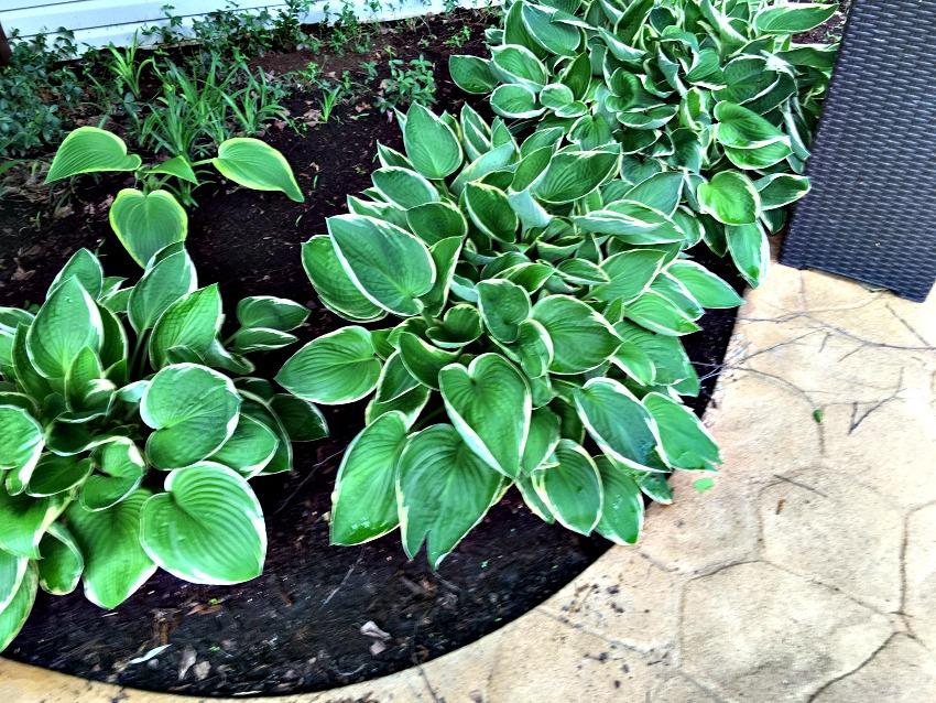 Garden Tour Hostas at www.chathamhillonthelake.com