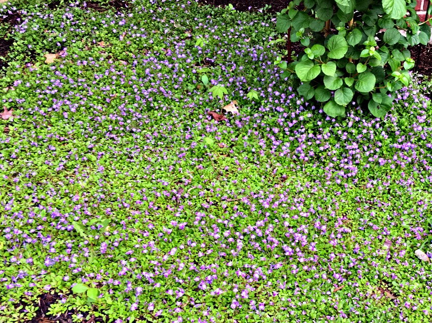 Garden Tour Blooming Thyme
