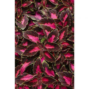 Color Blaze Velveteen Coleus www.chathamhillonthelake.com