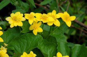 Marsh Marigolds www.chathamhillonthelake.com